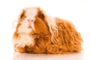 10-unusual-charming-breeds-of-guinea-pigs-51e3a4a350cbc