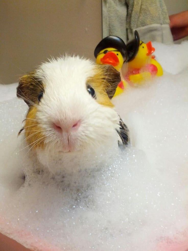 guinea_pig_bath