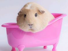 guinea_pig_bathing