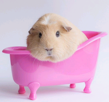 Can You Bathe Your Guinea Pig With Dog Shampoo