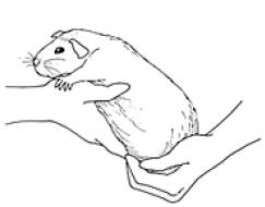 hold_guinea_pig