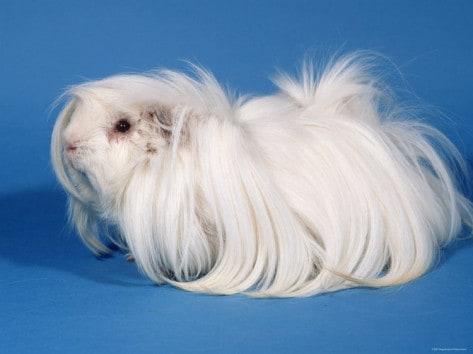 petra-wegner-white-peruvian-guinea-pig