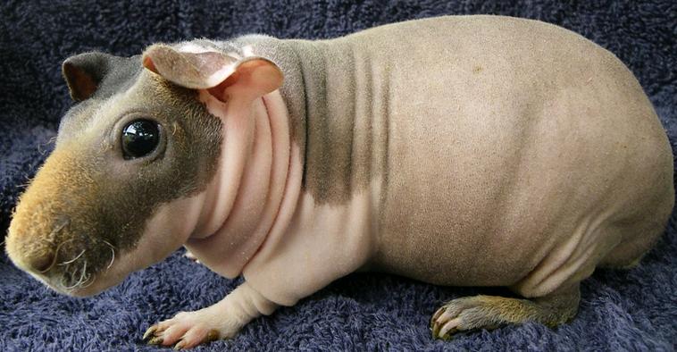 skinny_guinea