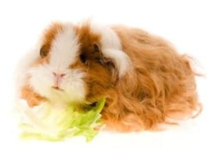 texel-guinea-pig